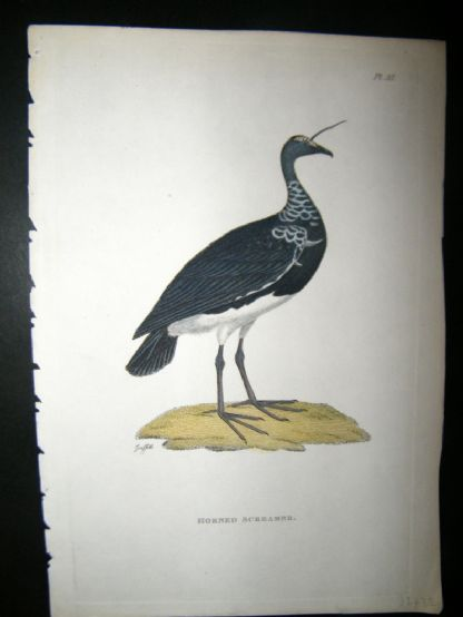 Shaw C1800's Antique Hand Col Bird Print. Horned Screamer